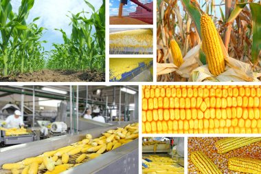 Corn production, collage