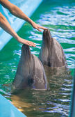 Photo Two human hands touching dolphins