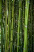 bambusz fák