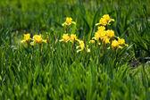 Fotografie Blumenbeet des gelben Schwertlilien