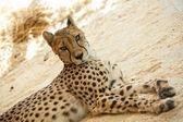 krásné gepard
