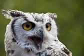 Photo Closeup of a snowy owl