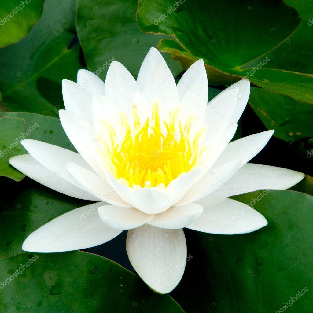 White Lotus Stock Photo Hin255 22989966