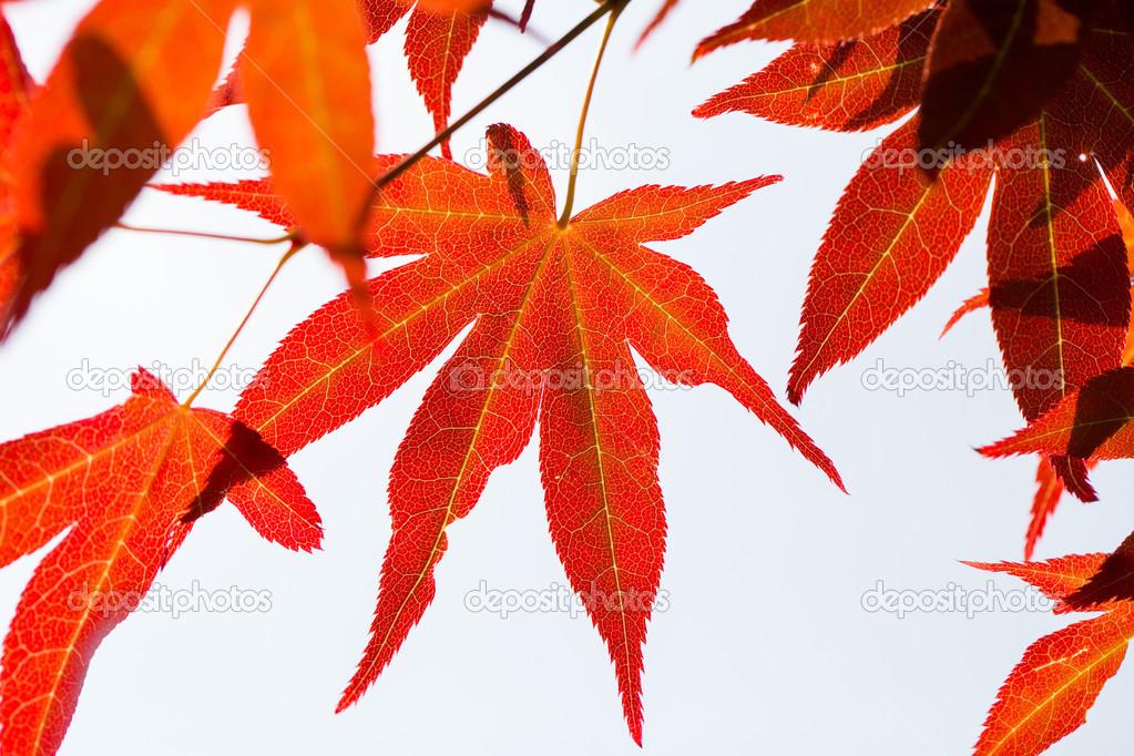 Foglia di acero rosso foto stock hin255 47083001 for Acero rosso canadese prezzo
