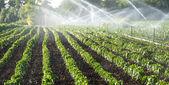 irrigazione di ortaggi