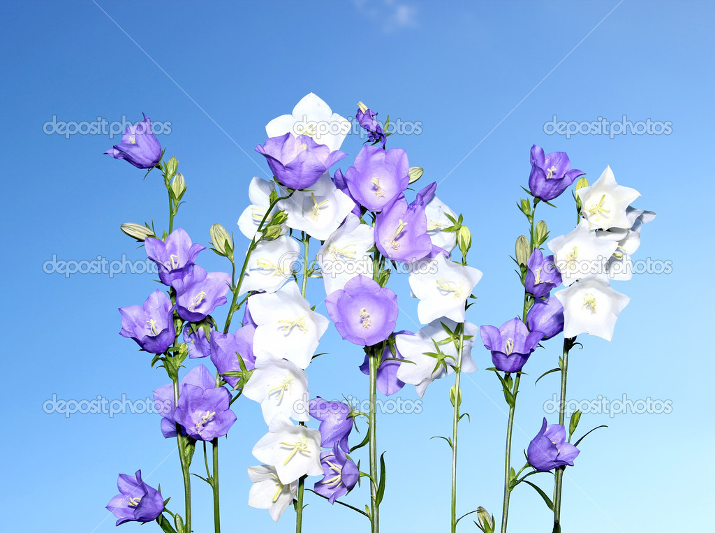 Several blue and white bell flowers stock photo kingan77 34338341 several blue and white bell flowers stock photo mightylinksfo
