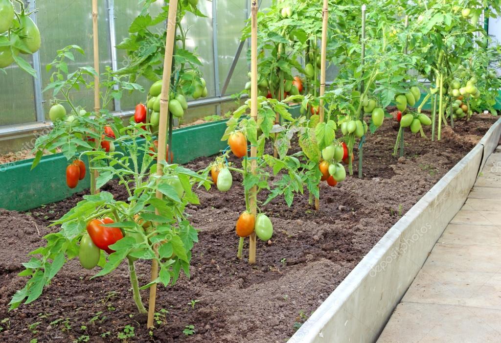 Viele Busche Tomaten Im Gewachshaus Stockfoto C Kingan77 35686823
