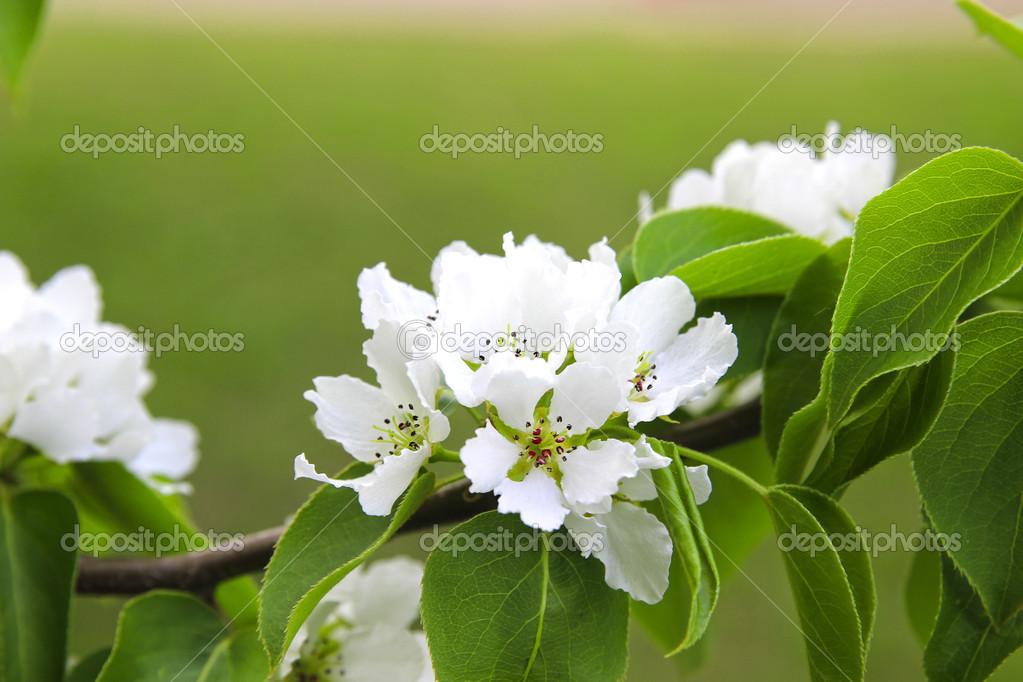 Branche de poirier floraison photographie kingan77 38653269 - Taille des rosiers au printemps ...