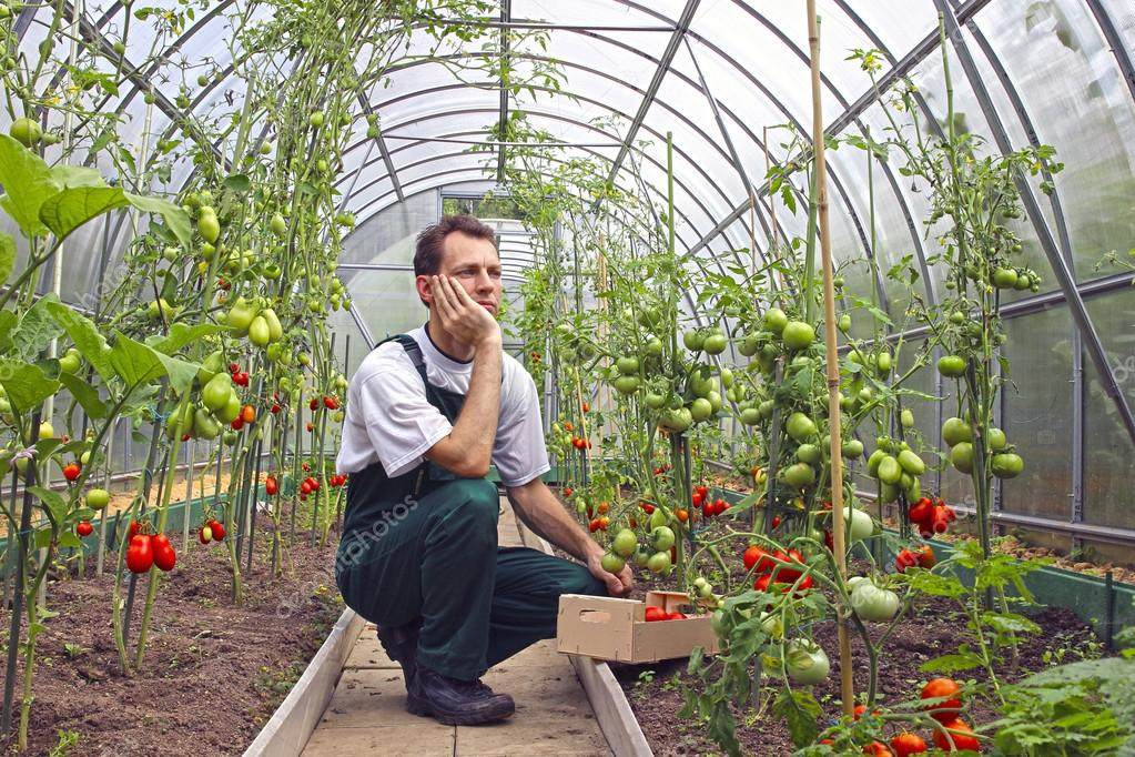 Worker sitting thinking about the harvest of tomatoes in the gre