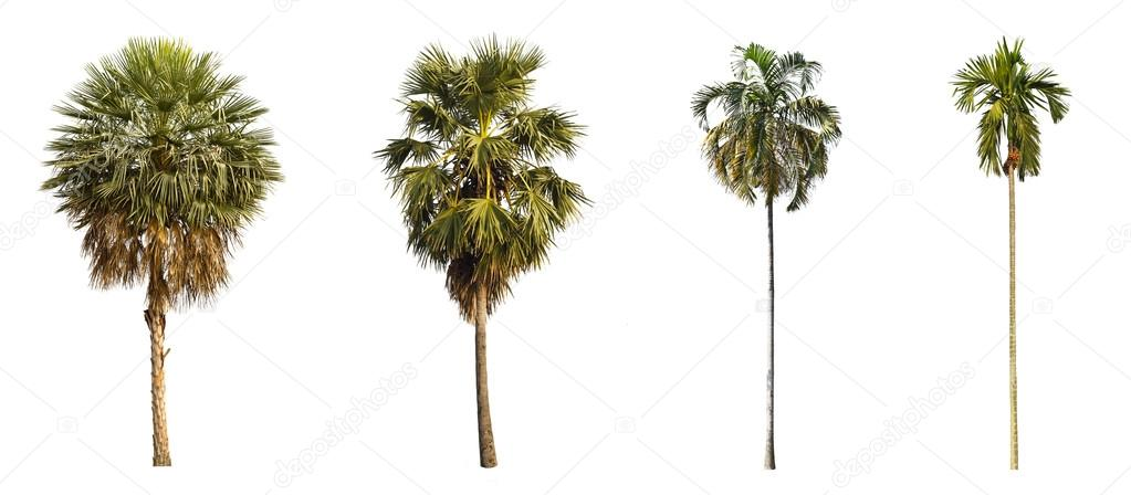 4 types of palms tree.