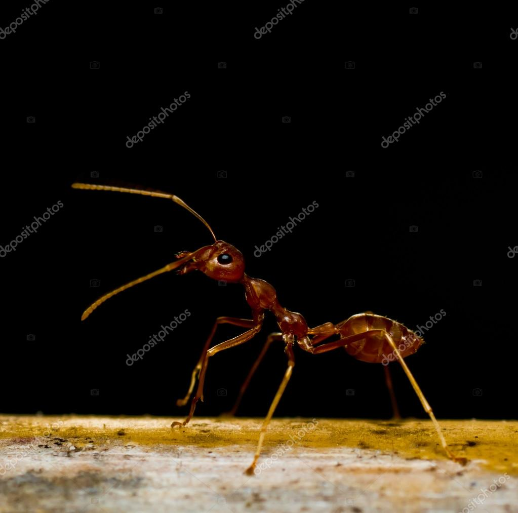 red ants on black