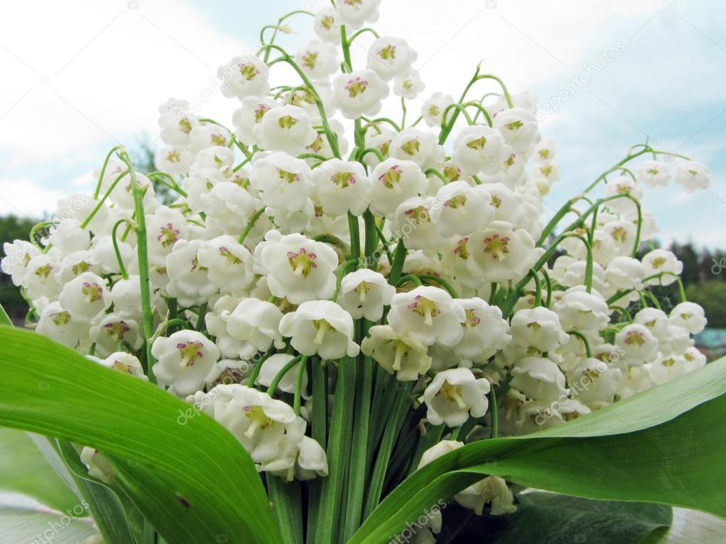 Bouquet of lily of the valley flowers stock photo nastya22 25657401 bouquet of lily of the valley flowers stock photo izmirmasajfo