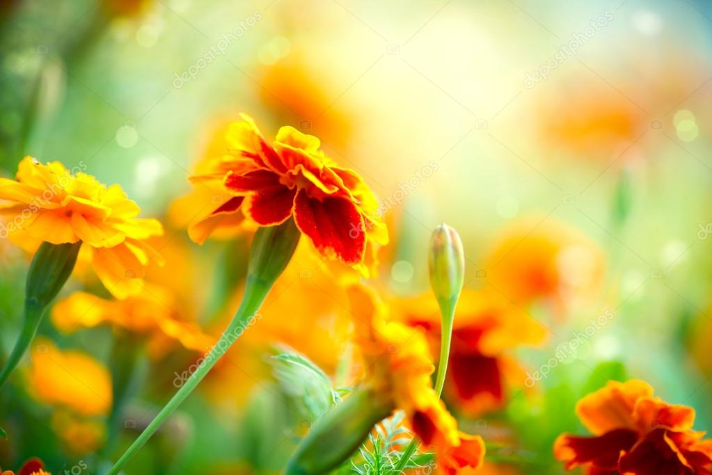 Fiore del tagete tagetes sfondo di fiori autunnali foto for Immagini fiori autunnali