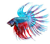 Fotografie Betta Fish closeup. Colorful Dragon Fish