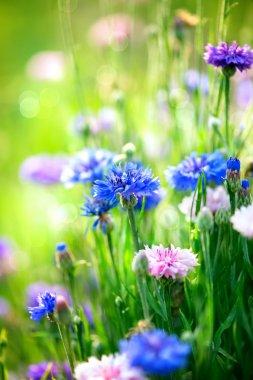 Cornflowers. Wild Blue Flowers Blooming. Closeup Image