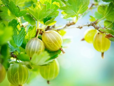 Gooseberry. Fresh and Ripe Organic Gooseberries Growing