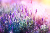 Fotografie Lavender Flowers Field. Growing and Blooming Lavender