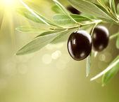 Fotografie pěstování oliv. Černý zralé olivy na stromě