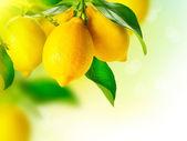 Fotografie citron. zralé citrony na citroníku. rostoucí citron