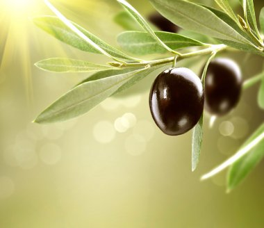 Growing Olives. Black Ripe Olive on a Tree stock vector