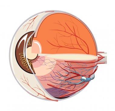 Vector image of eyeball anatomy stock vector