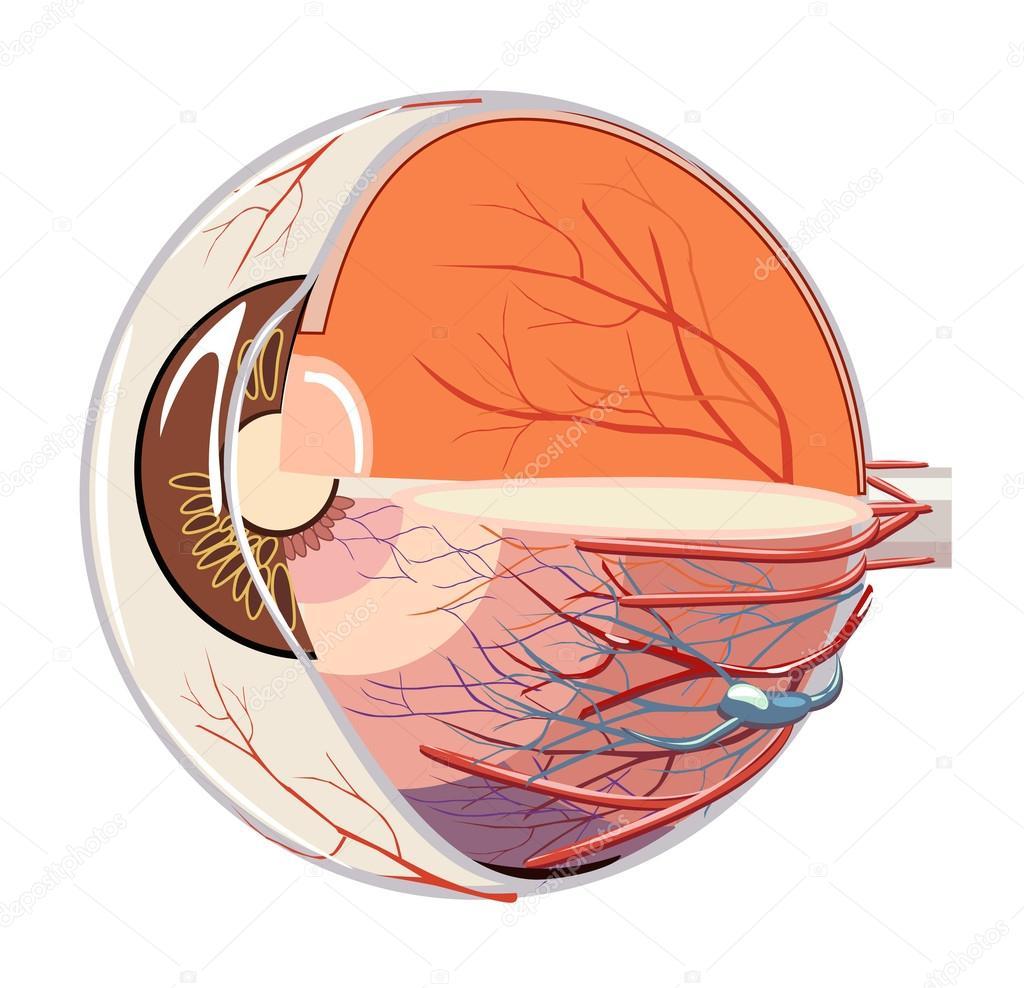 Vector de la imagen de la anatomía del globo ocular — Archivo ...