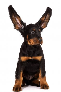 Young gordon setter puppy on white background