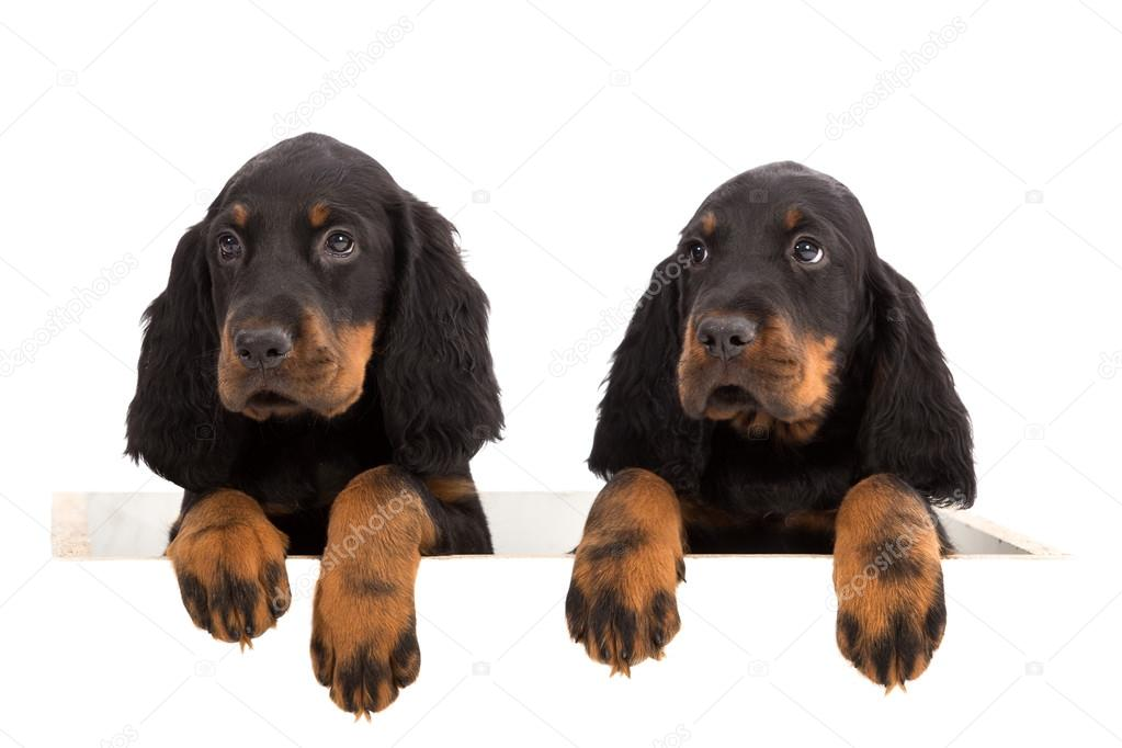 gordon setter puppy sleeping on white background, dog