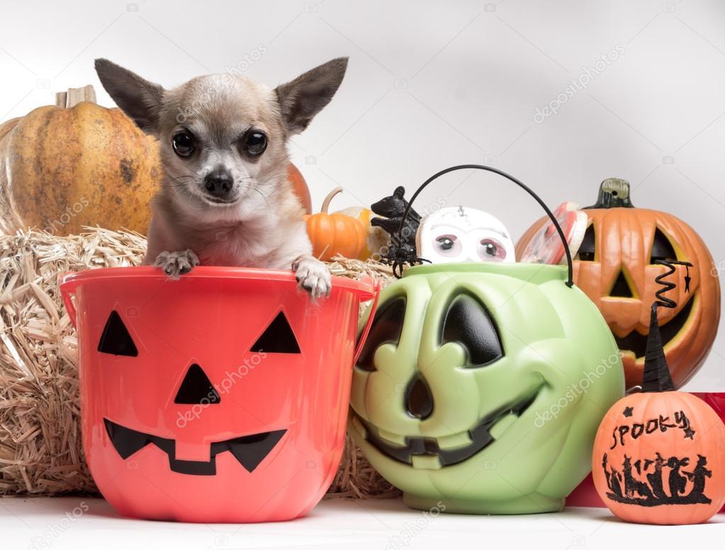 Süße Chihuahua mit Halloween Kürbisse und Süßigkeiten — Stockfoto ...