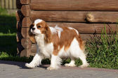 Photo Young cavalier king charles spaniel blenheim a coat