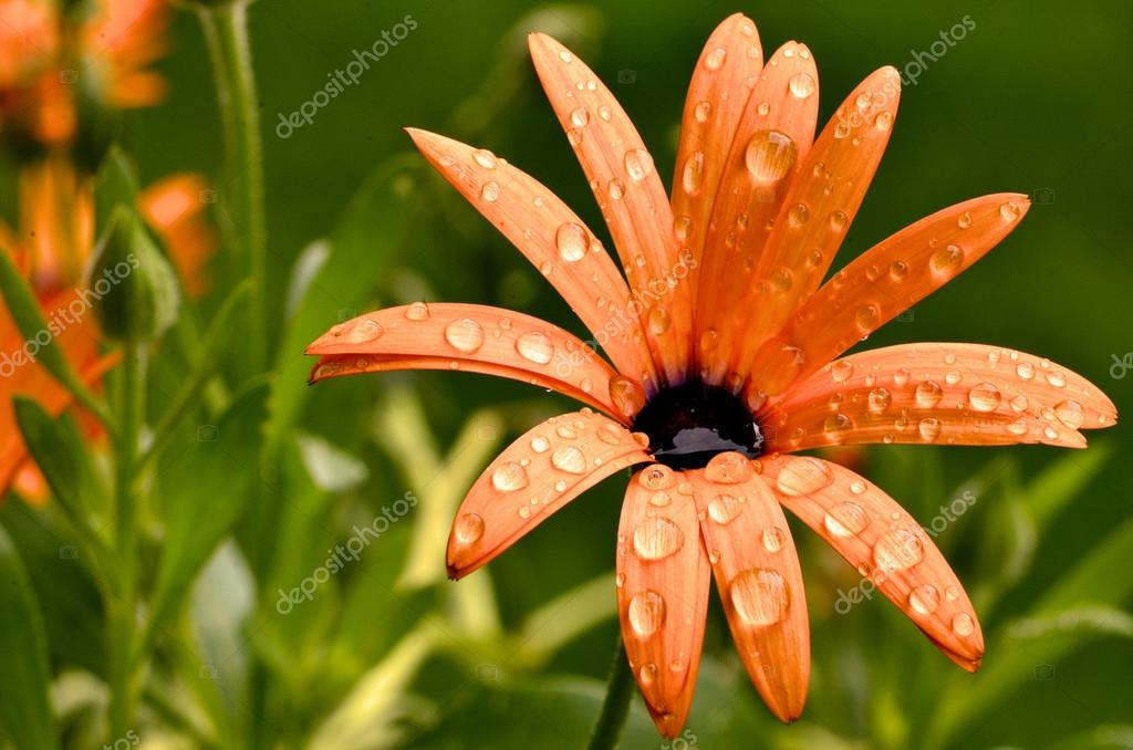 Osteospermium flower after summer rain