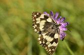 Motýl pití nektaru květů jetele