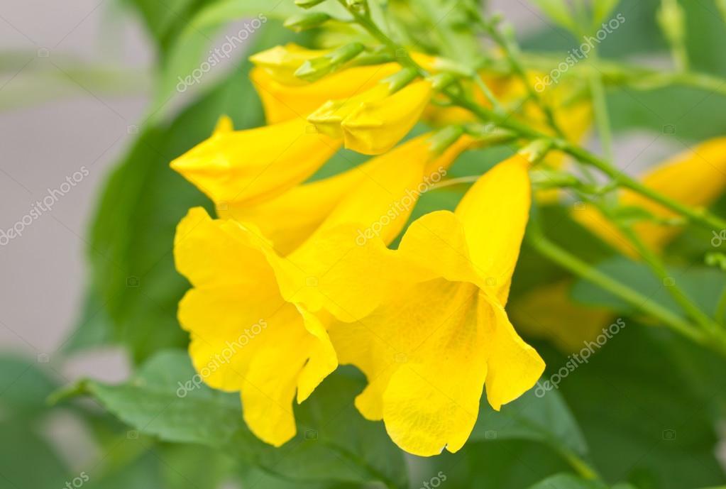Цветок желтый колокольчик