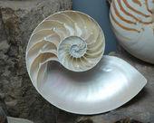 Archivfoto einer Halbschale nautilus pompilius