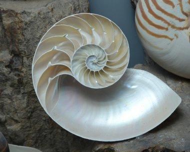 Stock photograph of a Half Shell Nautilus pompilius