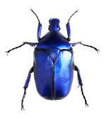 Photo Jewelry beetle, Torynorrhina flammea isolated on white background