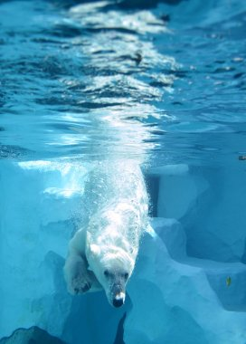 Polar bear swimming diving in water at zoo