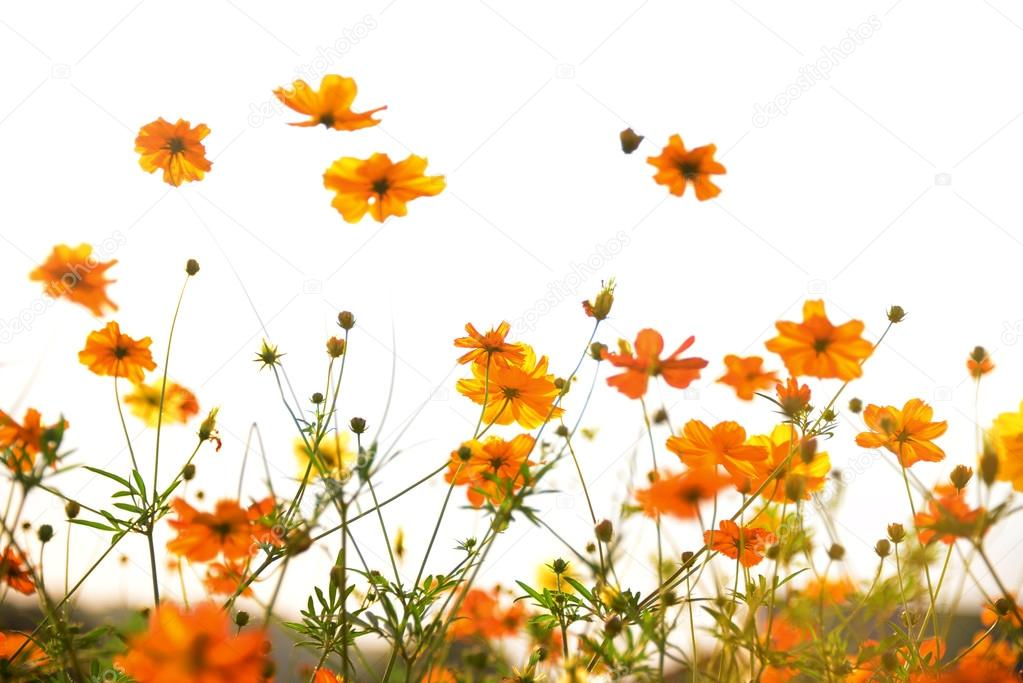 Yellow cosmos flower isolated on white background stock photo yellow cosmos flower isolated on white background stock photo mightylinksfo