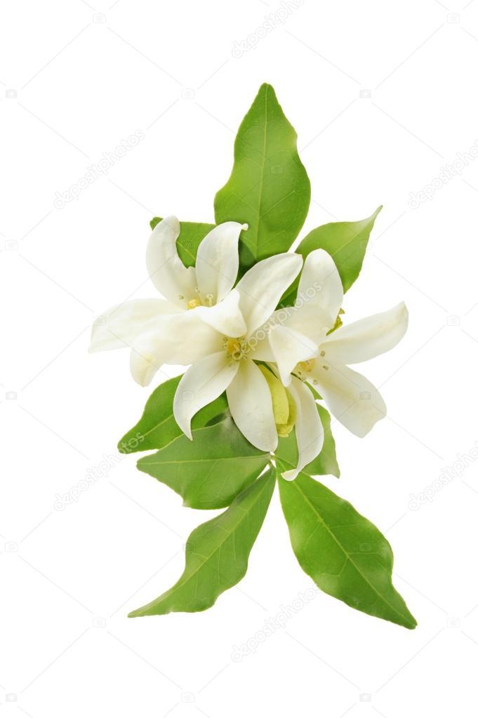 weiße Blume orange jessamine — Stockfoto © bluehand #33636497