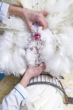 insemination of turkeys on the farm