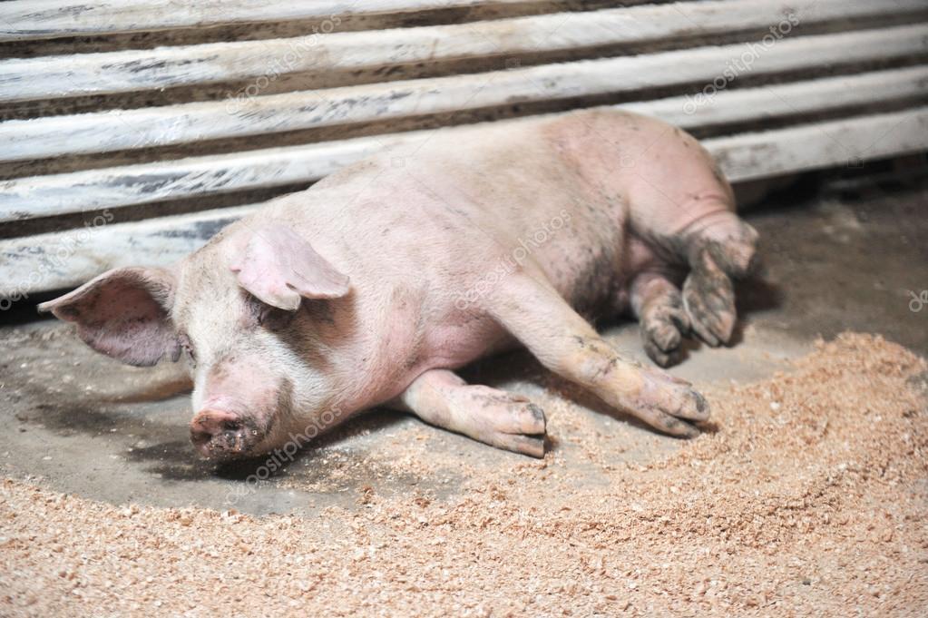 sick pig