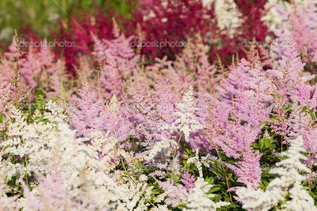 Fleur De Bruyere Fleurs Au Mois D Aout Photographie Romantsubin