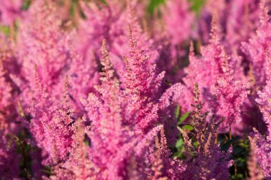 Pink Calluna vulgaris flower