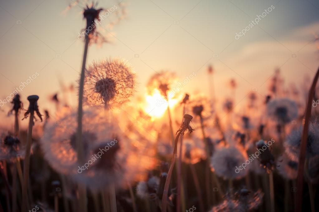 Real field and dandelion at sunset