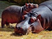 Photo Hippos