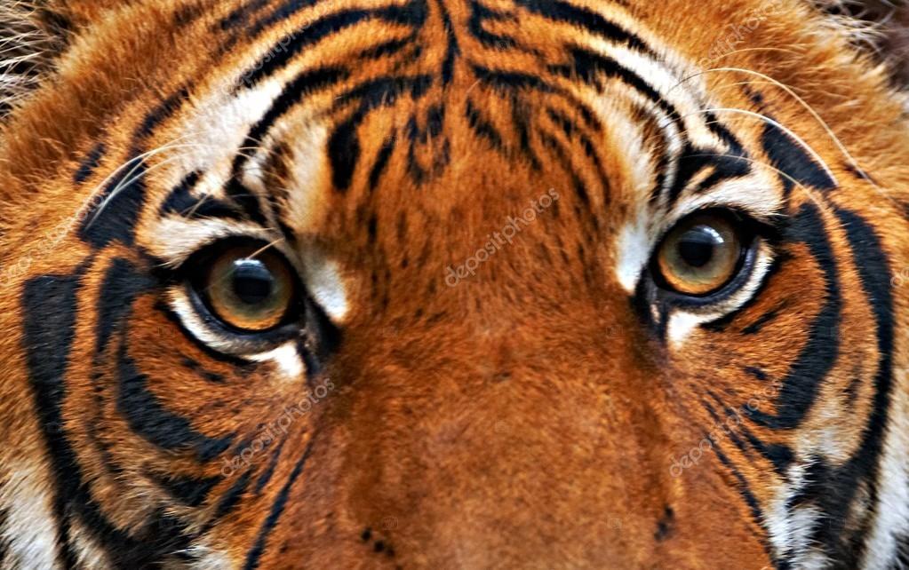 Tigers eyes