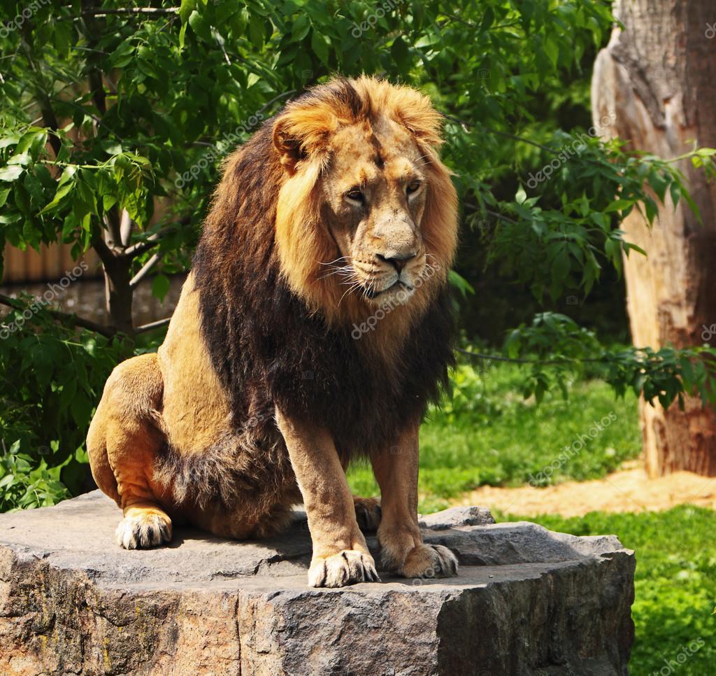 The prisoner lion