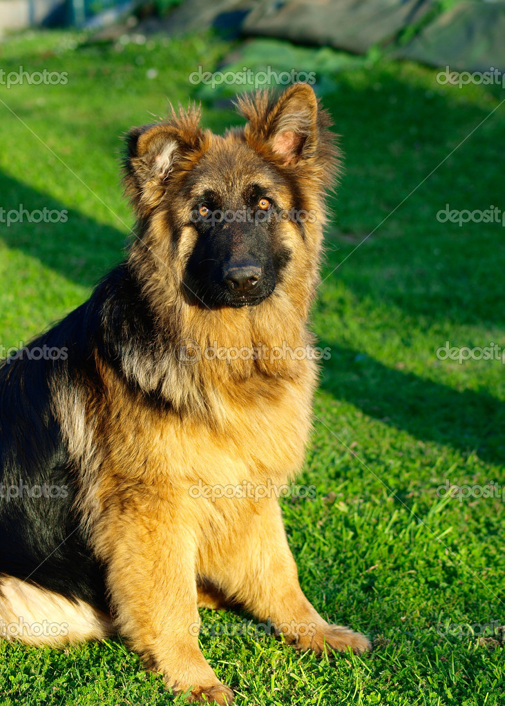 Adorable And Funny German Shepherd Puppy In A Sunny Day Stock