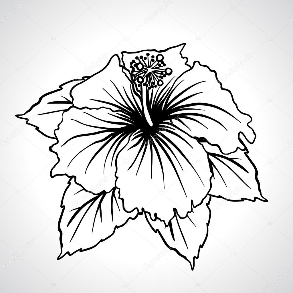 Chinese Flower Line Drawing : Black macro chinese rose flowers isolated — stock vector