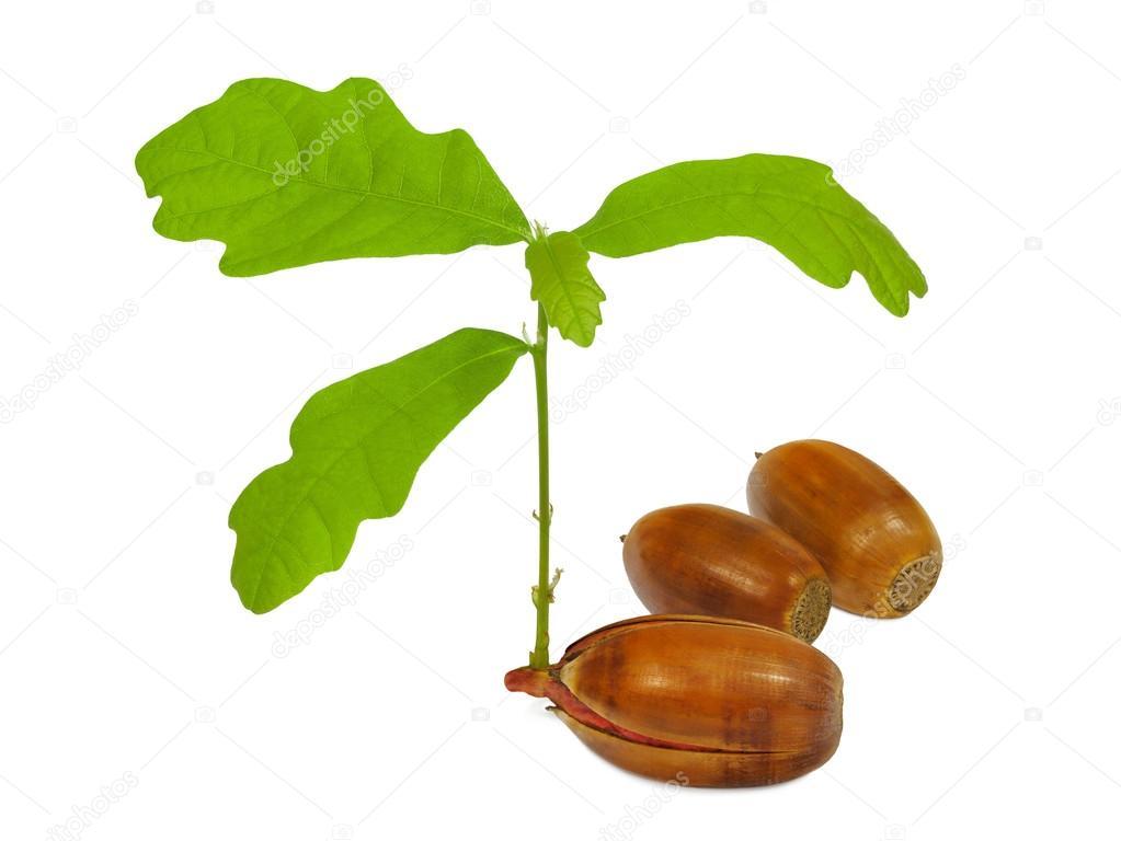 Young oak.